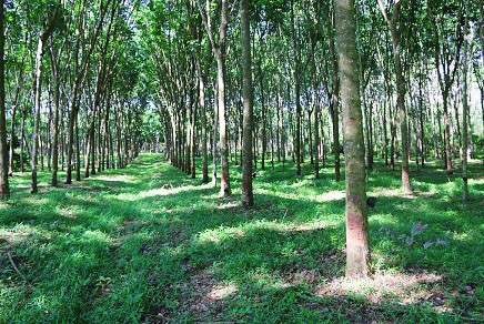 plan-toys-gummi-bbaum-plantage-rubber-trees-trang